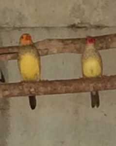 Star Finch Breeding Pair Londonderry Penrith Area Preview