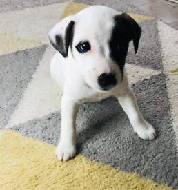 Jack Russel Female Puppy