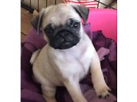 GORGEOUS KC REGISTERED PUG PUPPIES FOR SALE