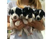 2 female Jack Russell puppies