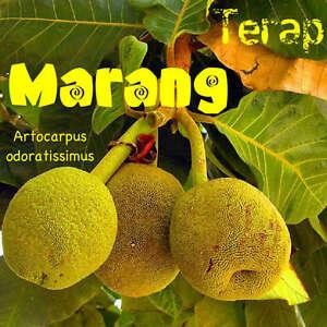 MARANG-RARE-Fruit-Tree-FRUIT-TASTES-like-VANILLA-ICE-CREAM-TERAP-LIVE-SEEDLING