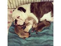 Bulldog cross mastiff pups