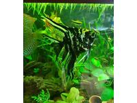 Large Angelfish for sale