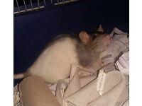 Rats needing homes