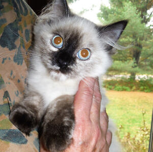 2 Himalayan Kittens For Sale