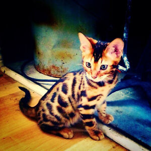 Top Quality Bengal Kittens - TICA Registered