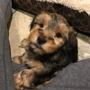 Toy Yorkie Poo Puppies - 2 boys still available!!