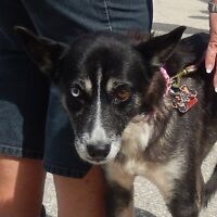 **Sweet Maybelle - BORDER COLLIE cross is available for adoption