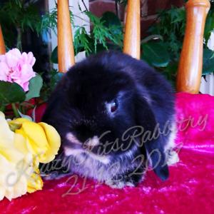 Adorable black otter mini lop bunny