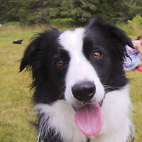 Border Collie looking for a home