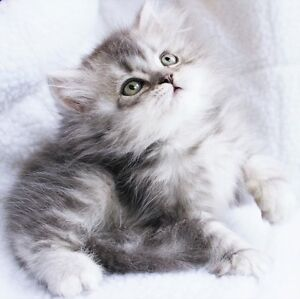 Doll face Persian kittens - One Boy available