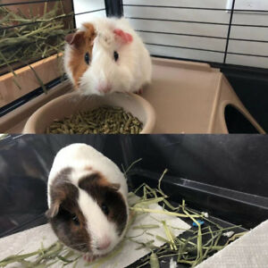 Three Adoreble Guinea Pigs for Rehoming