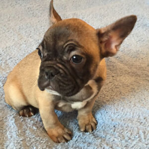 French Bulldog babies for sale :) only 2 left!
