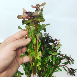 Looking to buy live aquatic freshwater plants?