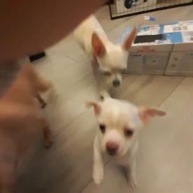 Three Chihuahua Puppies