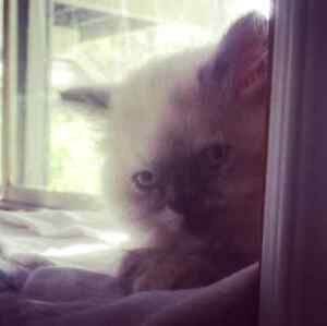 Purebred Himalayan Kittens * last one♡*
