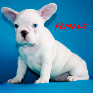 Blue French Bulldog | Kijiji in Ontario  - Buy, Sell & Save with