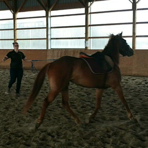 Lg Pony Mare -4yrs old
