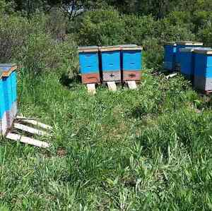Honey bees & hives  for sale