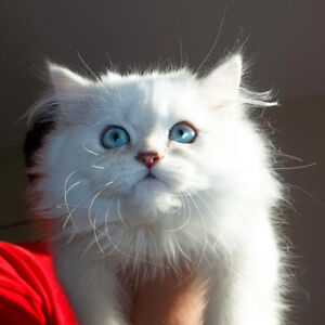 ☘️ Toy Size Purebred Persian *Lilac Point Himalayan* Kitten ☘️
