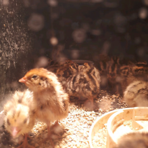 cortinix quail chicks