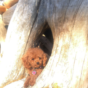 CKC Purebred Teacup Poodle,3 lbs, Red Apricot