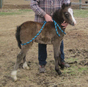 Section A Welsh Pony Colt