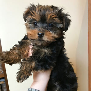 T-Cup Yorkie (Yorkshire Terrier) Puppies - 1 Male available
