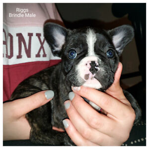 French Bulldog Puppies (In time for christmas)