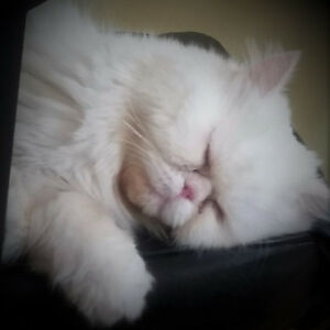 CHAT PERSAN BLANC perdu/ MONTREAL/ lost  WHITE PERSIAN CAT