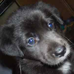 Sweet Mild Mannored  Lab Crossed Pups For Sale