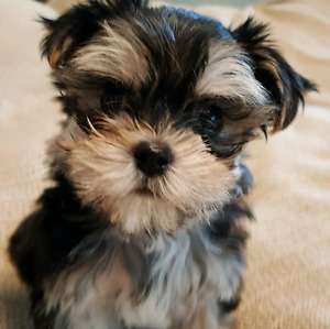 Teeny Tiny Morkie male Puppy