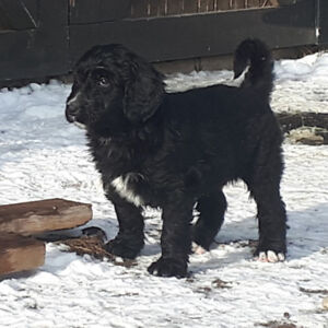 BEAUTIFUL BERNEDOODLE PUPPIES READY!
