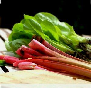 50+  Victoria Rhubarb Seeds-Non GMO-Open Pollinated-Organic