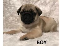 Beutiful puppy pugs for sale