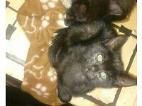 Beautiful 11 Weeks Old Kittens