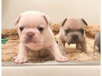 Kc french bulldog female puppies