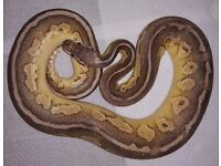 Royal Python Female Butter Pewter CB 15