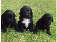 Stunning toy cockapoo puppies