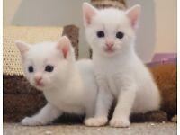 Black Striped & Pure White Ragdoll Cross Kittens!