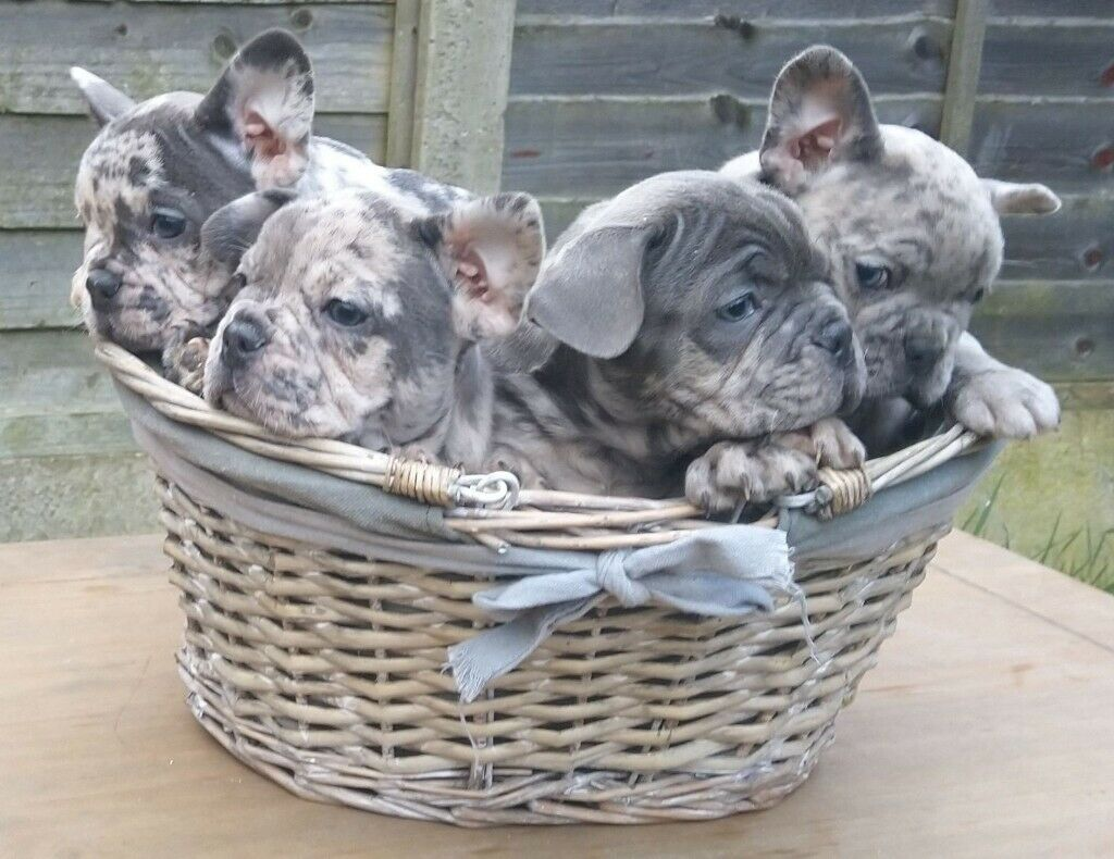 Merle French Bulldog Puppies In Derby Derbyshire Gumtree