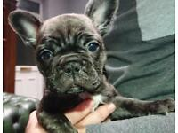 Stunning KC registered French Bulldog puppy Bitch