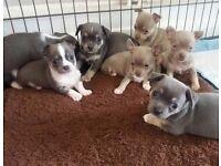 Blue and Lilac Chihuahua pups