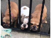 X2 French bulldog bitches fawn
