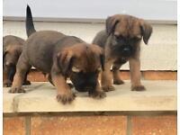 border terrier puppies vet checked