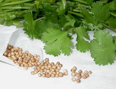 CILANTRO perejil arabe AROMATICA coriandrum sativum 1000 Semillas Seeds