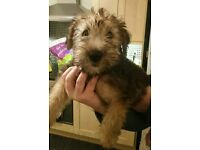 Softcoated wheaten terrier pups