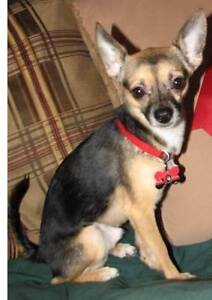 LOST CHIHUAHUA - MISSED BY FAMILY