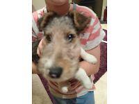 Wire fox terrier puppy - last one