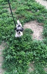 "Adult Female Dog - Shih Tzu: ""Roxy"""